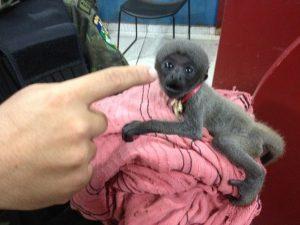 Filhote de macaco foi encontrado acorrentado em Porto Velho. Foto: Matheus Henrique/ G1