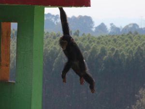 Santuário abriga mais de 50 chimpanzés, além de outros animais. Foto: Geraldo Jr./G1/Arquivo