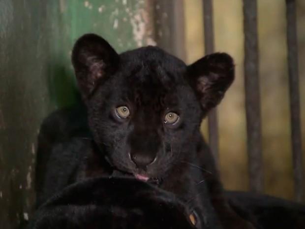 Fêmea de onça-preta que nasceu no zoológico de Salvador terá nome de atleta baiana (Foto: Reprodução/ TV Bahia)