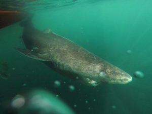 Tubarão vive em águas frias e a temperatura é fator apontado pelos cientistas para maior tempo de vida. Foto: Julius Nielsen