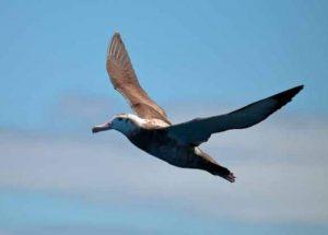 Albatroz-errante voa sobre regiões marítimas. Foto: Ed Dunens/Flickr