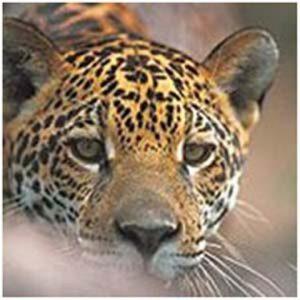 Onça-pintada, um dos animais na lista de ameaçados que vive na área da Flona Jamanxim. Foto: ICMBio