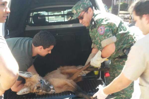 Animal foi sedado para que resgate acontecesse com segurança (Foto: Polícia Militar de Meio Ambiente MG/Divulgação)