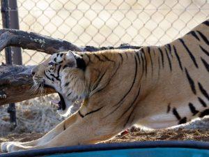 O tigre Laziz se espreguiça em seu novo recinto no Lionsrock Big Cat Sanctuary, em Bethlehem, na África do Sul, na quinta (25). Foto: AP Photo/Themba Hadebe