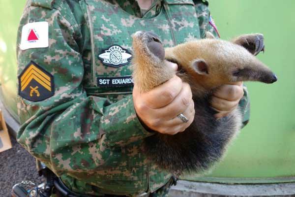 O animal não apresentava ferimentos aparentes e foi levado para a UFU (Foto: Polícia Militar de Meio Ambiente MG/Divulgação)