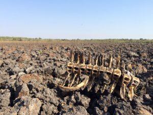 Lago secou e carcaças de alguns animais ficaram na lama seca. Foto: Cassiano Rolim/TV Anhanguera