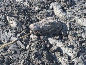 Jacarés presos na lama. Foto: Fábio Melo/Arquivo Pessoal