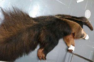 Tamanduá bandeira foi atacado por cães e vai fica sob tratamento veterinário. Foto: Polícia Militar de Meio Ambiente/Divulgação