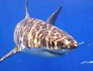 Grande tubarão branco, que habita o Atlântico Norte Foto: Divulgacão