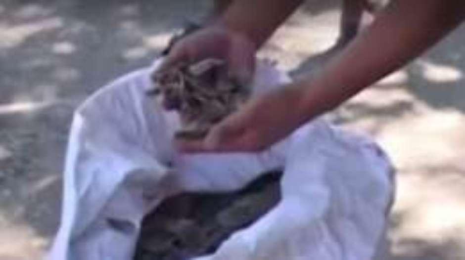 Escamas do animal são usadas por curandeiros na China e no Vietnã Foto: Reprodução / BBCBrasil.com