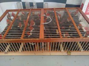 Pássaros eram transportados em gaiola pequena. Foto: Polícia Rodoviária/ Divulgação