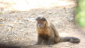 Macacos foram contaminados pelo vírus silvestre da febre amarela Foto: Divulgação