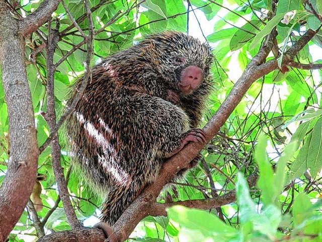 Entre as espécies silvestres mais comuns na área urbana de Bauru estão o gambá e o ouriço