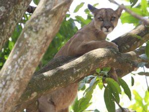 Puma resgatado de árvore em casa no Lago Sul, em Brasília. Foto: Marco Holanda/Arquivo pessoal