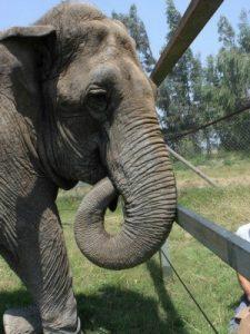 Ramba é um dos animais que deve viver no santuário. Foto: ONG Global Sanctuary for Elephants/Divulgação