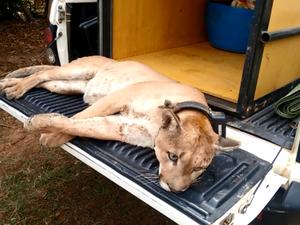 Animal foi encontrado em galinheiro de chácara, na região do Gravi. Foto: Reprodução / EPTV