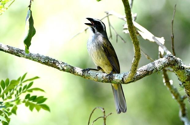 Trinca-ferro é a espécie mais traficada em Minas Gerais.