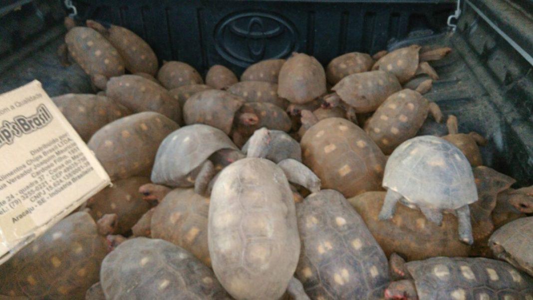 Mais de 100 cágados foram resgatados pela FPI em Zona Rural sergipana (Imagem: Assessoria FPI/SE).