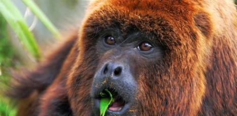 Os macacos também podem ficar infectados pela febre amarela Foto: Csaba Segesvari/AFP