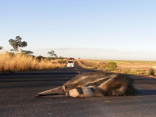 Tamanduá morto em rodovia federal  (Foto: Divulgação/ PRF)