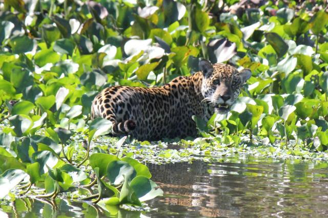 Onças-pintadas estão entre os alvos preferidos dos caçadores de animais silvestres no Pantanal. (Foto: Divulgação)