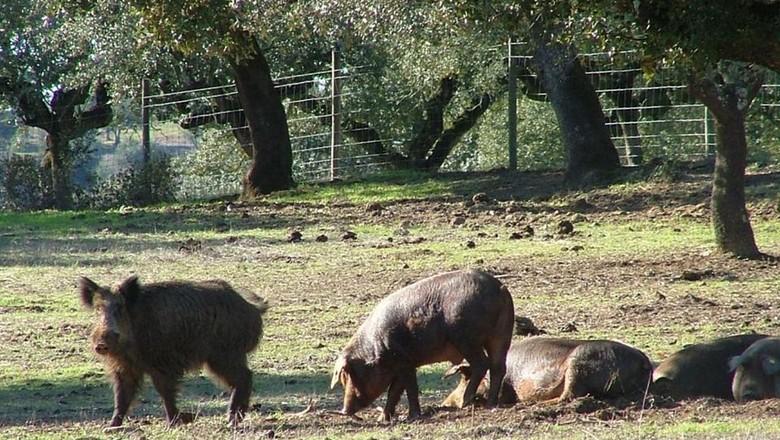 O Brasil autorizou a caça por javalis, que atacaram em grandes quantidades propriedades agropecuárias. (Foto: Flickr)