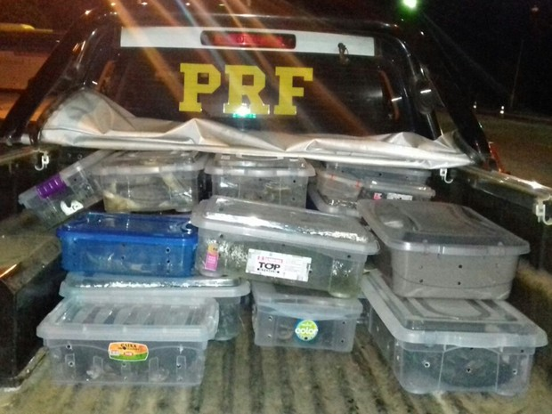 Tartarugas e cágados estavam dentro de caixas em condições irregulares, diz PRF (Foto: Divulgação/PRF)
