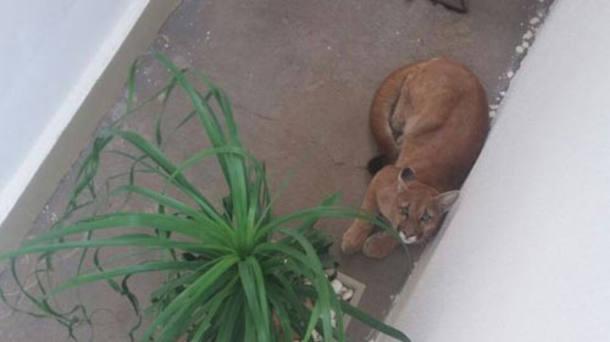 A onça-parda, com cerca de 50 kg, foi examinada por um veterinário, que a considerou apto para retornar à natureza