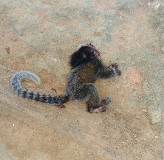 O filhote de macaco foi encontrado no bairro Pade Gabriel Foto: Mayara Letícia Ernesto dos Santos