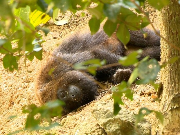 Macaco encontrado morto em Domingos Martins (Foto: Reprodução/ TV Gazeta)