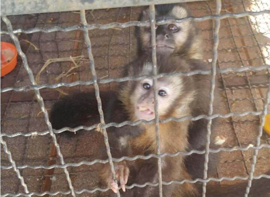 Foram resgatados cinco filhotes de jabutis, uma arara cega, quatro iguanas e quatro macacos-prego, sendo que dois estavam mortos (foto: Polícia Ambiental)