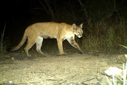 Assim que for capturada, a onça será solta na região do Pantanal.