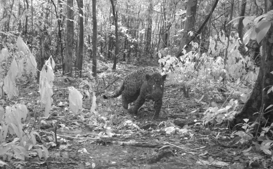 A enorme onça-pintada foi registrada por uma armadilha fotográfica do Instituto Mamirauá