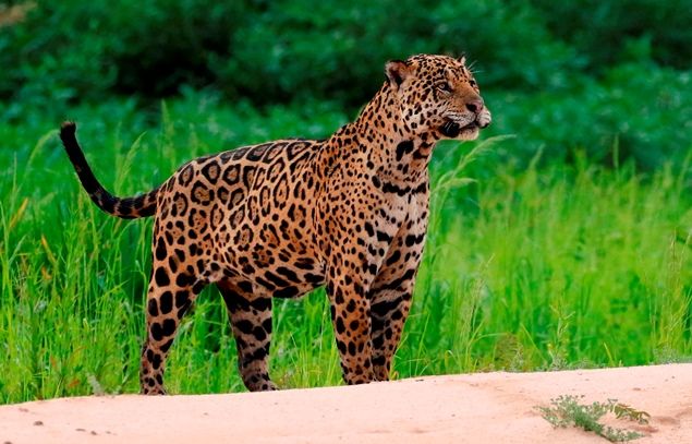 Onça-pintada avistada no Pantanal