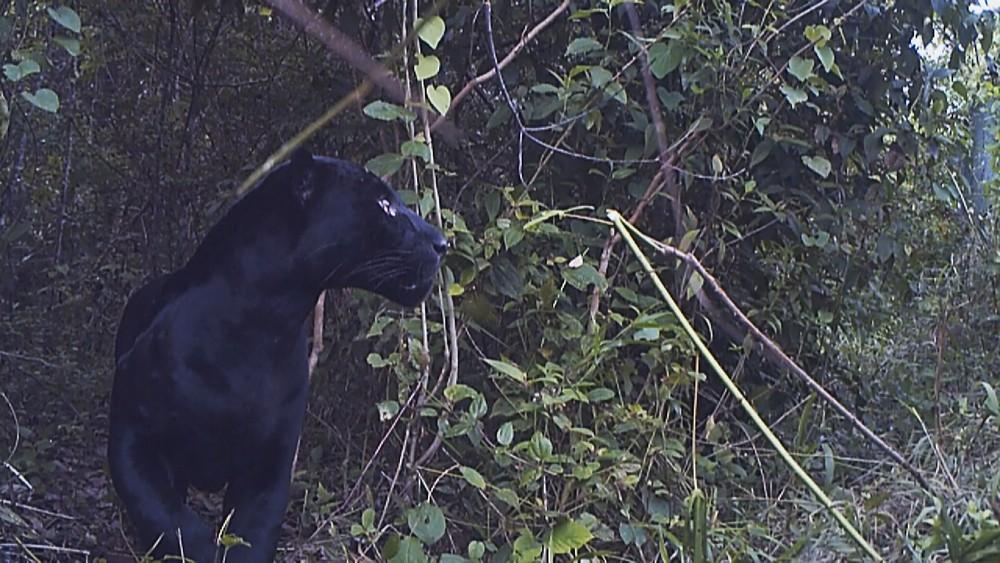 Macho de onça-preta é monitorado por pesquisadores (Foto: Instituto NEX)