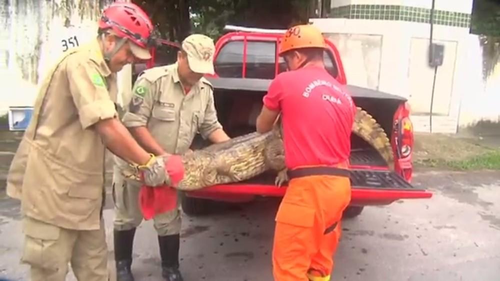 Jacaré foi recolhido pelo Corpo de Bombeiros e levado para o Ibama (Foto: TV Verdes Mares/Reprodução)
