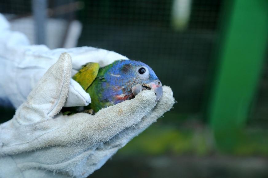Esta Maitaca de cabeça azul (pionus menstruus) foi levada para um zoo de São Paulo Foto: Márcio Silva