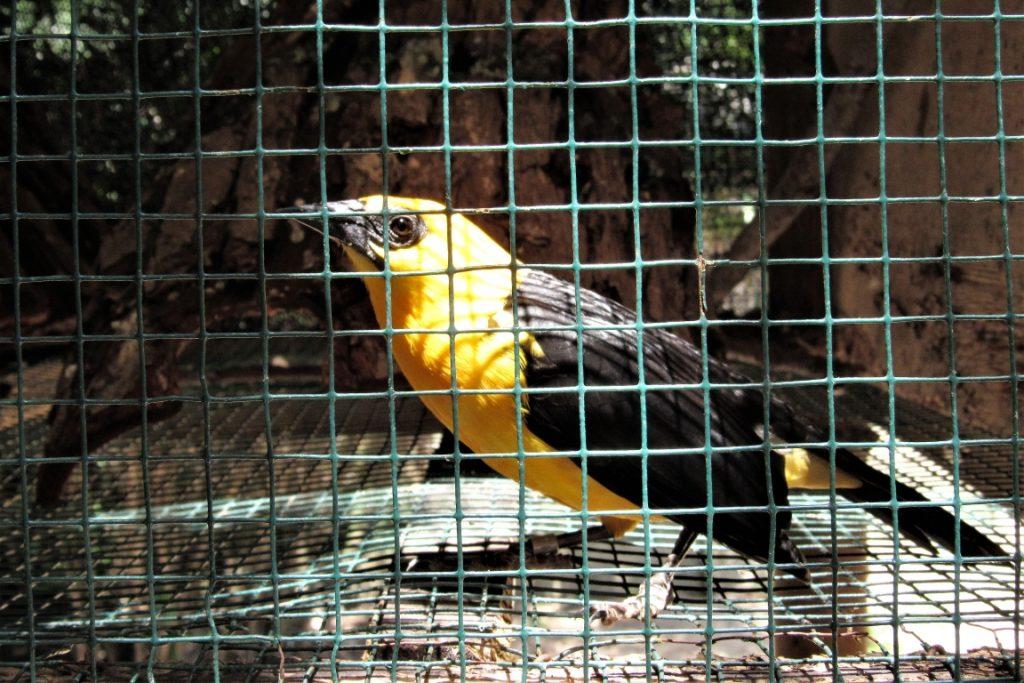 Quarentena para a recuperação de aves. Acima, um Iratauá-grande (Gymnomystax mexicanus). Foto: Fabíola Ortiz.