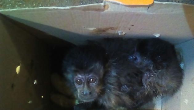Macacos estavam em uma caixa de papelão dentro de uma mochila