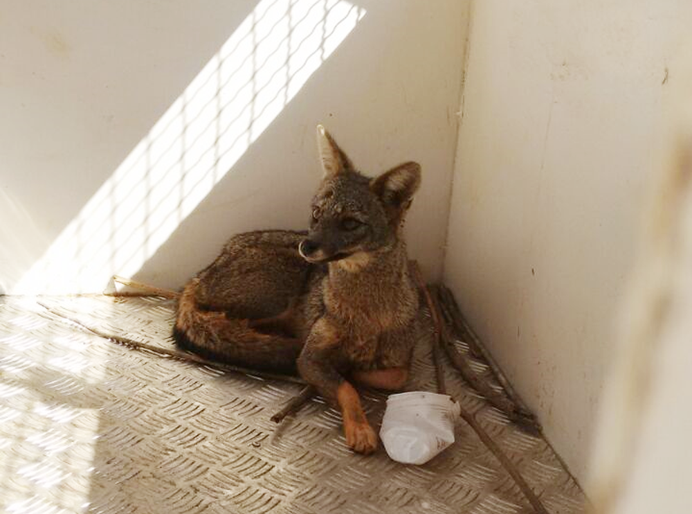 Raposa é encontrada em cemitério de Uberlândia (Foto: Polícia Militar do Meio Ambiente/Divulgação)