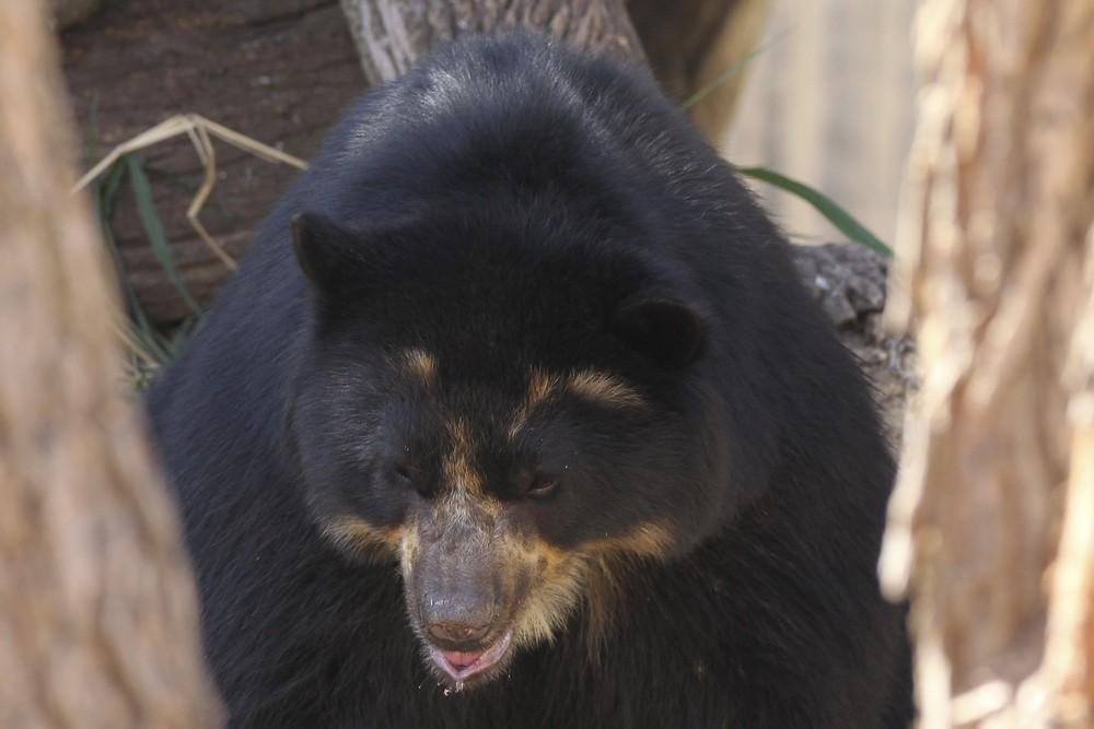 Urso-de-óculos chega ao Zoológico de Brasília (Foto: Toninho Tavares/Agência Brasília)
