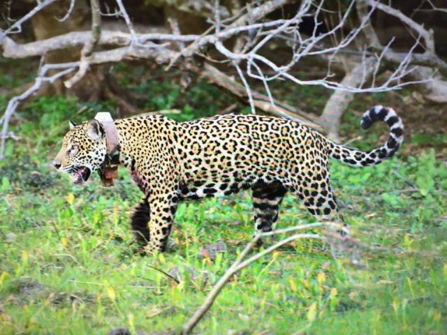 Isa se tornou uma exímia caçadora ainda durante a reintrodução dela à natureza (Boris Kuhar)