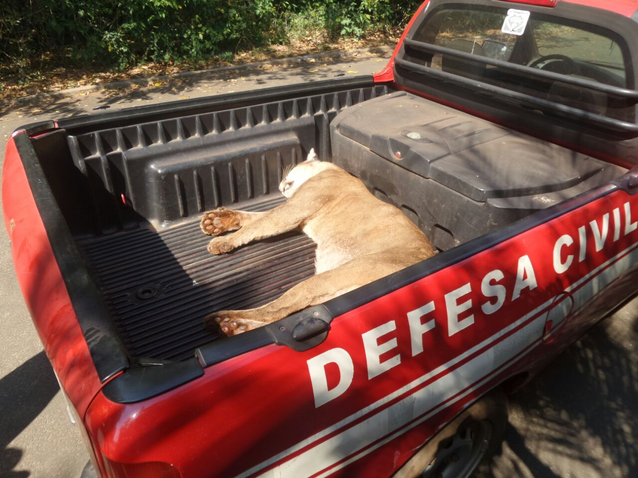 Animais silvestres morrem atropelados em rodovias do Centro-Oeste Paulista.