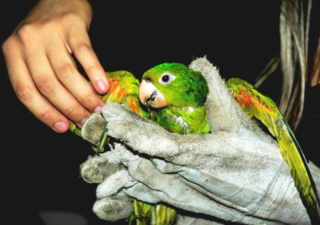 Resgate de um periquito maracanã para soltura em habitat natural