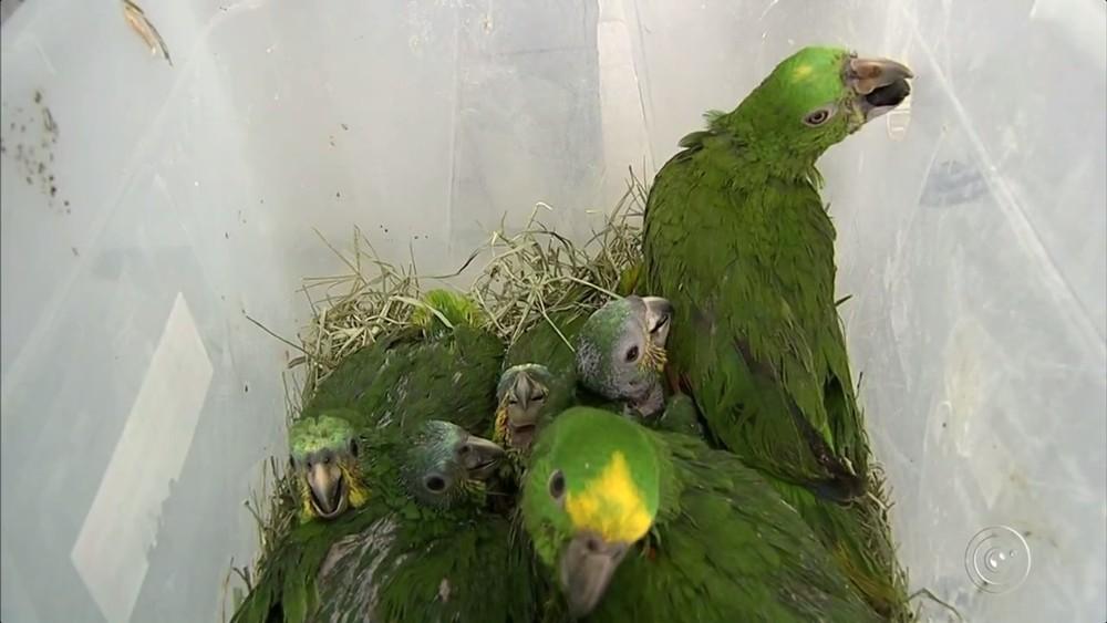 Aves foram apreendidas no bagageiro de ônibus (Foto: Reprodução/TV TEM )