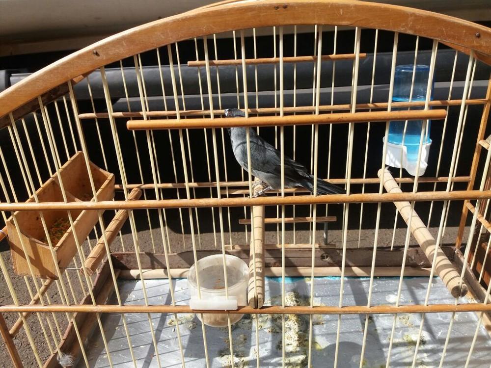 Cinco pássaros foram apreendidos com criador em Jaboticabal, SP (Foto: Polícia Ambiental/Divulgação)