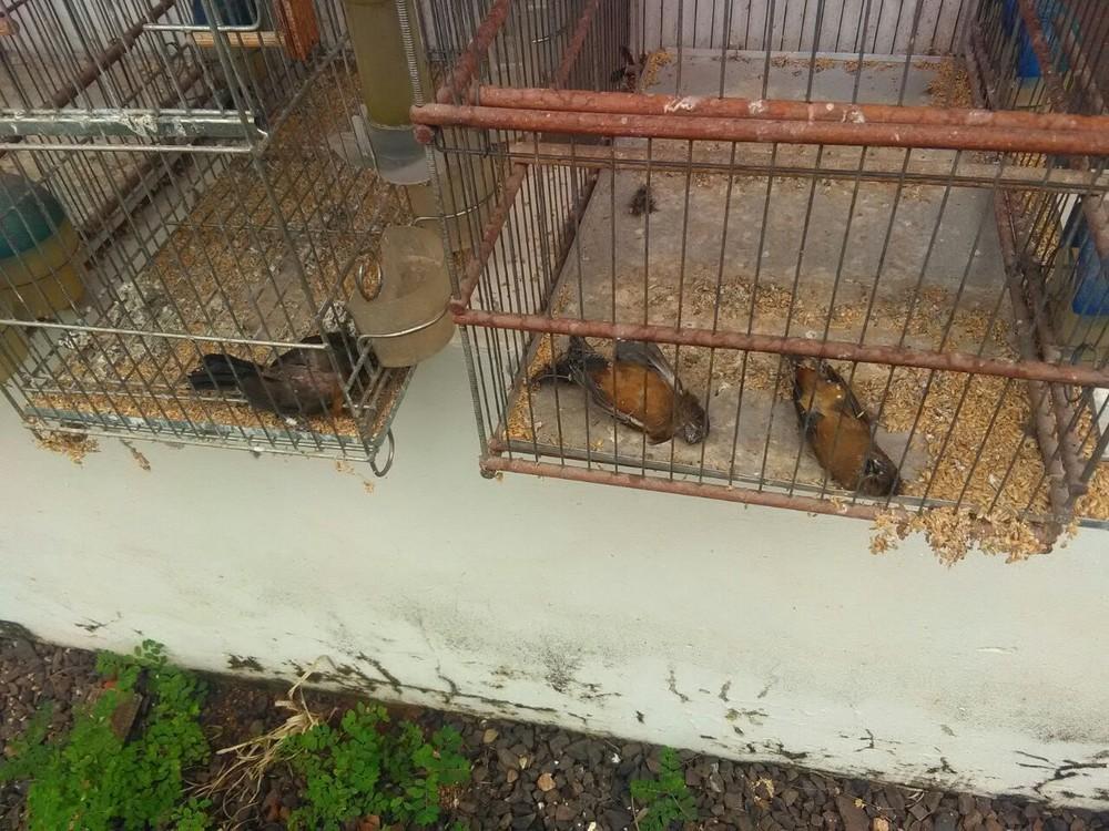 Foram apreendidos 244 pássaros em Bauru (Foto: Polícia Ambiental/Divulgação )