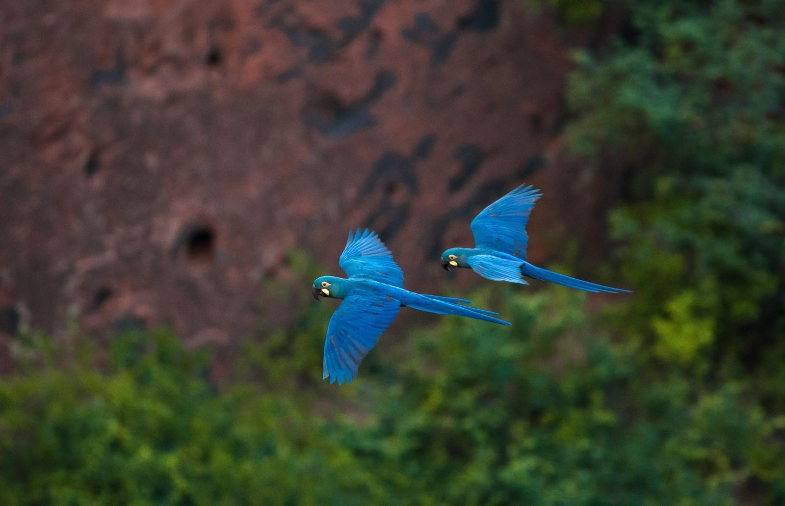 Arara-azul-de-lear é foco de ações de preservação. — Foto: Marcelo Brandt/G1