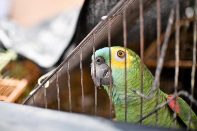 Aves constituem a maior parte dos animais apreendidos nas operações de combate ao tráfico de espécies silvestres /Foto: Andre Borges/Agência Brasília