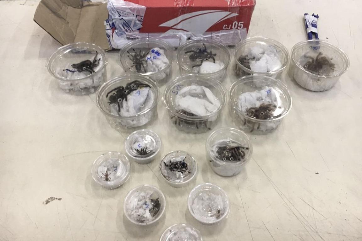 64 aranhas caranguejeiras eram mantidas irregularmente no imóvel residencial. Foto: Ibama/Divulgação.